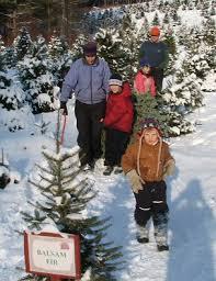 Balsam Christmas Tree Care by Christmas Tree Care Redrock Farm