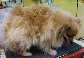 My Short Haired Dog Sheds A Lot by Pet Grooming The Good The Bad U0026 The Furry Grooming Pomeranians