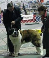 Do Smooth Coat St Bernards Shed welcome to show case saints