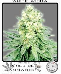 fin de floraison cannabis exterieur graines de white widow autoflo