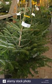 Nordmann Fir Christmas Trees Wholesale by Picea Abies Christmas Stock Photos U0026 Picea Abies Christmas Stock