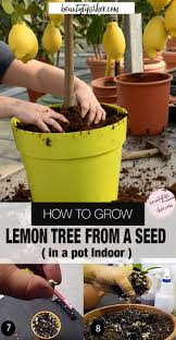 ideas about how to grow a lemon tree care and tips trees