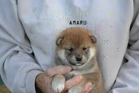 Do Shiba Dogs Shed by Goldkress Shibas 7 Amaru Goldkress Shiba