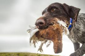 German Shorthaired Pointer Shed Hunter by Best Hunting Dogs Gun Dogs Hunting Dog Breeds Field U0026 Stream