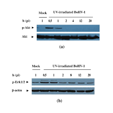Biphasic Activation Of PI3KAkt And MAPKErk12 Signaling Pathways