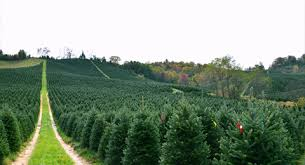Fraser Fir Christmas Trees Nc by About Us