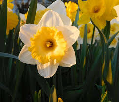 best 25 narcissus plant ideas on gift