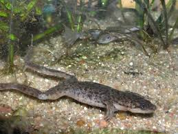 Should African Dwarf Frogs Shed by The African Dwarf Frog Petshoptop