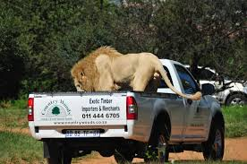 Huge Male LION Hitches Ride On Safari Truck Giving Tourists The ... Easter Jeep Safari Concepts Wagoneer Jeepster A Baja Truck And Pamoja Friends Family 2018 Scott Brills Renault Midlum 240 Expeditionsafari Truck Bas Trucks Mercedes Stock Photo Picture And Royalty Free Image Proud African Safaris Mcdonalds Building Blocks Youtube First Orange Tree Toys Elephant Edit Now Shutterstock Axial Rc Scale Accsories Safari Snorkel For Rock Crawler Truly The Experience Safari At Port Lympne Wild Animal Park Playmobil With Lions Playset Ebay