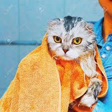lop eared scottish higland katze nass und total unglücklich nach dem waschen im badezimmer in badetuch eingewickelt square capture