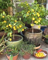grow a fruiting lemon tree from seed in your own home