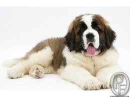 Do Smooth Coat St Bernards Shed by 12 Best Dog St Bernard Images On Pinterest Saint Bernard
