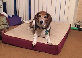 Serta Dog Beds by Life With Beagle 5 Things To Know About Dogs And Sleep