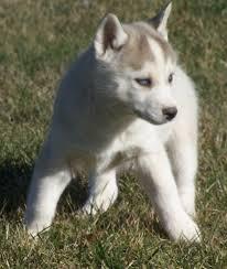 Non Shedding Large Dogs by Non Shedding Medium Dog Breeds Maconbourgogne
