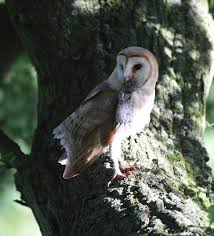 Barn Owl With Vole In Suffolk Oak Tree Tyto Alba | Mike Rae Barn Owl Perching On A Tree Stump Facing Forward Stock Photo The Owls Of Australia Australian Geographic Audubon Field Guide Beautiful Perched 275234486 Barred Owl Vs Barn Hollybeth Organics Luxury Skin Care Why You Want Buddies Coast News Group Sleeping By Day Picture And Sitting Venezuela 77669470 Shutterstock Rescue Building Awareness Providing Escapes And Photography Owls Owlets At Charlecote Park Barnaby The Ohio Wildlife Center