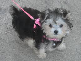 Non Shedding Dog Breeds Small by Morkie Wikipedia