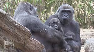 Bronx Zoo Halloween 2017 bronx zoo unveils 2 adorable baby gorillas ny daily news