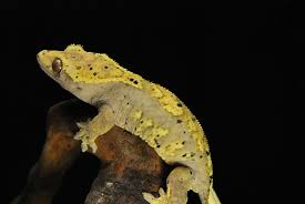 Halloween Pinstripe Crested Gecko by Crested Gecko