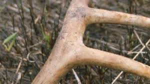 When Do Whitetails Shed Their Antlers by When And Where To Find Shed Deer Antlers Wqad Com