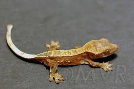 Crested Gecko Shedding Signs by Phoenix Reptile Breeders Crested Geckos U0026 More