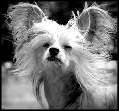 cairn terrier shed hair get to these 21 non shedding small dogs freetonia zone