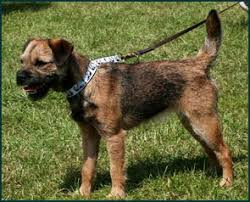 Do Border Terriers Shed by Border Terrier Canada U0027s Guide To Dogs