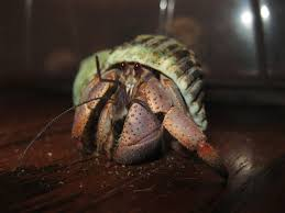 Do Hermit Crabs Shed Their Whole Body by Help Worm Things Inside New Hermit Crab U0027s Shell Sach U0027s Crab Page