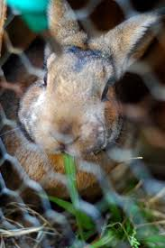 Can Bunny Rabbits Eat Pumpkin Seeds by Naturally Feeding The Meat Rabbits The Elliott Homestead