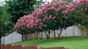 Type Of Christmas Trees Decorated In India by The Complete Guide To Crepe Myrtle Trees Southern Living