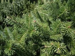 Canaan Fir Christmas Tree Needle Retention by Holly Ridge Tree Farm