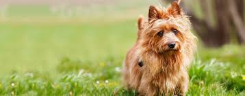 Non Shedding Small Dogs Australia by Australian Terrier Dog Breed Health History Appearance
