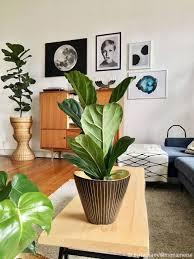 zimmerpflanze geigenfeige ohne übertopf ficus lyrata grün 17x60