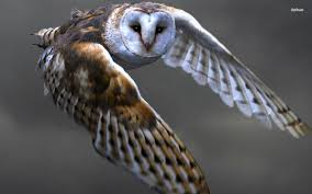 Barn Owl Flying Wallpaper 1280X800 Barn Owl Flying Wallpaper ... Barn Owl United Kingdom Eurasian Eagleowl Wallpaper Studio 10 Tens Of Barn Owl Wallpapers And Backgrounds Pictures 72 Images By Faezza On Deviantart Bird Falconry One Animal Closeup Free Image Snowy Hd 78 Sits Pole Wooden Dove Birds Images Hd 169 High Wallpaper 1680x1050 11554 Free Backgrounds At Wildlife Monodomo 2 One Online 4k Desktop For Ultra Tv Wide