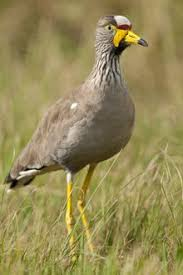 West African Black Crowned Crane