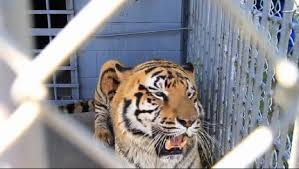 100 Tiger Truck Stop Louisiana Governor Signs Law Letting Live Tiger Stay At Truck Stop