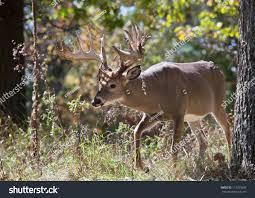 Deer Antler Shedding Cycle by Deer Antler Shedding Season Uk 100 Images Understand The
