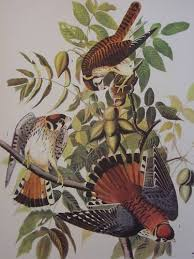 1937 Audubon Print 142 Sparrow Hawk Bird Of Prey Feed