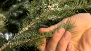 Christmas Tree Species Usa by U S Christmas Tree Shortage But Charlie Brown Tree Not The Only