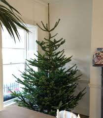 Krinner Christmas Tree Genie Xxl Uk by Christmas Trees Coming Out Of Our Ears Howbert U0026 Mays Garden Centre