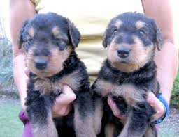 Airedale Terrier Non Shedding by 54 Best Airedale Images On Pinterest Airedale Terrier Welsh