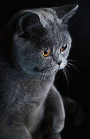 The British Shorthair Cat Cat Breeds Encyclopedia
