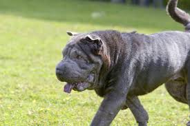 Big Lazy Non Shedding Dogs by A Unique Trait Of These 4 Dog Breeds Is Their Black Tongue Yup