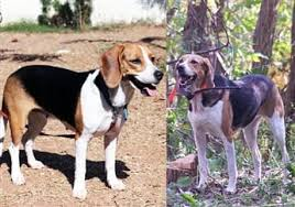 Do Treeing Walker Coonhounds Shed by The Beagle Vs Other Breeds