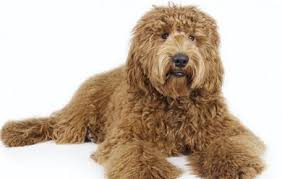 fluffy dogs that don t shed ideas about hypoallergenic cats on