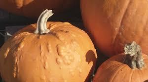 Pumpkin Patch Jacksonville Al by How Can You Preserve Your Pumpkin