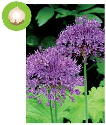 plant northwest friendly bulbs this fall for an explosion of color