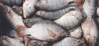 tilapia fish farming business plan nigeria