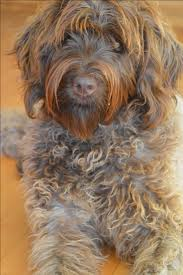 Wirehaired Pointing Griffon Non Shedding by 68 Best Korthals Griffon Images On Pinterest Wirehaired Pointing