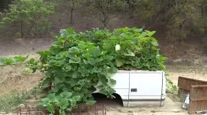 Stages Of Pumpkin Plants by Growing U0026 Planting A Healthy Spaghetti Squash Garden Youtube