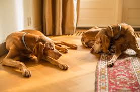 Do Vizsla Dogs Shed by Free Images Wood Sun Warm Home Puppy Sleeping Dogs M 50